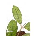 Hoya finlaysonii Rp099