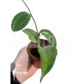 Hoya macrophylla Baibua