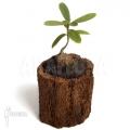 Ameizenpflanze 'Hydnophytum formicarum'