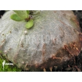Ameizenpflanze 'Hydnophytum mosleyanum' 'Type a'