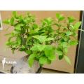 Ameizenpflanze 'Hydnophytum formicarum' 'XXL'