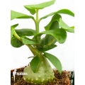 Ameizenpflanze 'Hydnophytum mosleyanum' 'M'