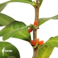 Ameizenpflanze 'Hydnophytum mosleyanum'