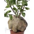 Ameizenpflanze 'Hydnophytum papuanum XXL'