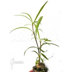 Hydnophytum perangustum 'Needle Leaf' 'Starter'