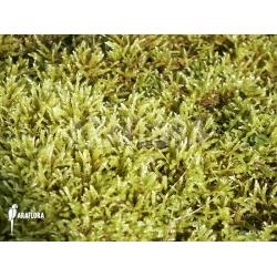 Hypnum cupressiforme (moss)