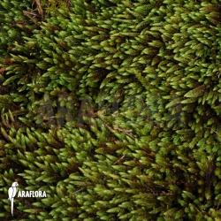 Hypnum moss