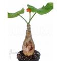 Jatropha podagrica