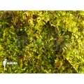Vesicularia dubyana 'Java Moos'