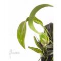 Orchidee 'Lemboglossum ehrenbergii'