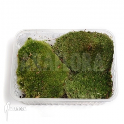 Leucobryum glaucum basket (Cushion moss)