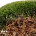 Cushion moos 'Leucobryum glaucum cradle'