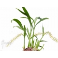 Orchidee 'Liparis condylobulbon' starter