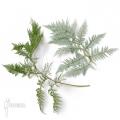 Baumfarn 'Lophosoria quadripinnata'