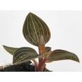 Orchidee 'Ludisia discolor'