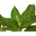 Orchidee 'Ludisia discolor 'Alba'