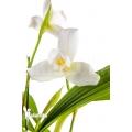 Orchidee 'Lycaste skinneri 'White''