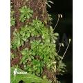 Macrocentrum droseroides