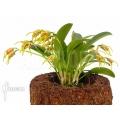 Orchidee 'Masdevallia garciae'