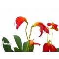 Orchidee 'Masdevallia ignea'