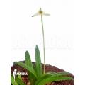 Orchidee 'Masdevallia minuta'