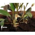 Orchidee 'Masdevallia nidifica'