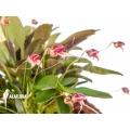 Orchidee 'Masdevallia nifidica 'dark''