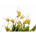 Orchidee 'Masdevallia nifidica 'yellow''