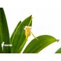 Orchidee 'Masdevallia paivaeana'