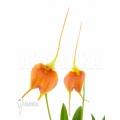 Orchidee 'Masdevallia x new orange'