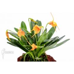 Masdevallia x orange lined