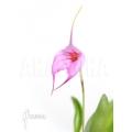 Orchidee 'Masdevallia x Selphi Orion (pink)'