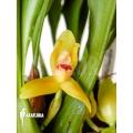 Orchidee 'Maxillaria rufescens 'yellow flower''