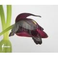 Orchidee 'Maxillaria schunkeana'