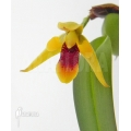 Orchidee 'Maxillaria variabilis 'S'