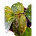 Melastomataceae species spotted