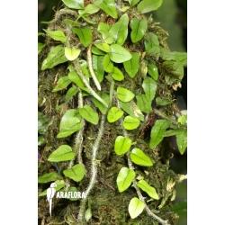 Microgramma vaccinifolia