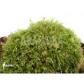 Moos Monosolenium tenerum