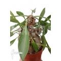 Ameizenpflanze 'Myrmecodia beccarii' 'L'