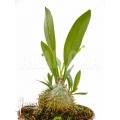 Ameizenpflanze 'Myrmecodia beccarii'