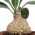 Ameizenpflanze 'Myrmecodia platytyrea'