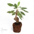 Ameizenpflanze 'Myrmecodia tuberosa' 'XL'