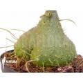 Ameizenpflanze 'Myrmephytum beccarii'