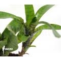 Bromelien 'Neoregelia ampullacea' 'Green Tiger' (S)