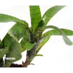 Neoregelia ampullacea 'Green Tiger' (S)