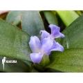 Bromelien 'Neoregelia lilliputiana'
