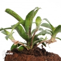 Bromelien 'Neoregelia lilliputiana' ´l´