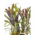 Bromelien 'Neoregelia pauciflora'