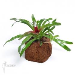 Neoregelia schultesiana 'Fireball' (M)