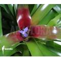 Bromelien 'Neoregelia schultesiana' 'Fireball' (XL)